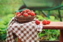 Свежие органические домашние клубники роста на деревянном столе в лете садовничают Стоковые Изображения RF