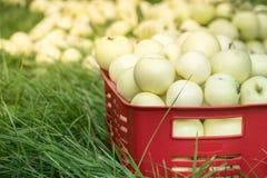 Свежие органические яблоки лета в пластичной коробке сада Стоковое фото RF