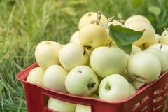 Свежие органические яблоки лета в пластичной коробке сада Стоковые Фотографии RF