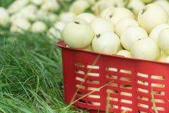 Свежие органические яблоки лета в пластичной коробке сада Стоковые Изображения RF