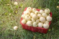 Свежие органические яблоки лета в пластичной коробке сада Стоковые Фото