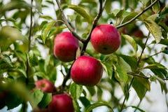 Свежие органические яблоки, яблоневый сад, сад Яблока вполне riped re Стоковая Фотография RF