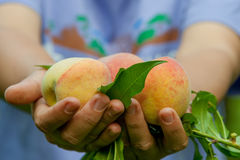 свежие персики Стоковая Фотография RF
