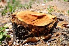 Свежие пни инвазионного леса Стоковые Изображения RF