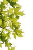 Листья плоских деревьев стоковые фотографии rf