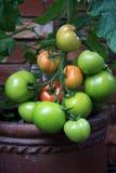 Свежие растущие томаты на конце лозы вверх Стоковые Изображения