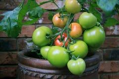 Свежие растущие томаты на конце лозы вверх Стоковое Изображение RF