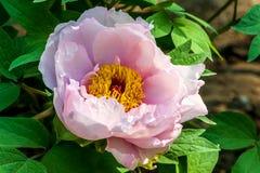 Свежие розовые пионы стоковые изображения rf