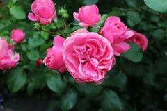 свежие розовые розы Стоковые Изображения