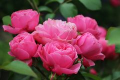 свежие розовые розы Стоковое Изображение