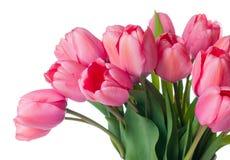 свежие розовые тюльпаны Стоковая Фотография