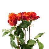 Свежие розы над предпосылкой изолированной белизной Стоковая Фотография RF