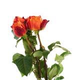 Свежие розы над предпосылкой изолированной белизной Стоковое Фото