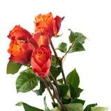 Свежие розы над предпосылкой изолированной белизной Стоковые Фото