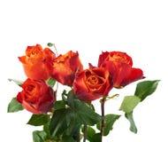Свежие розы над предпосылкой изолированной белизной Стоковые Изображения