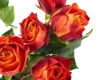 Свежие розы над предпосылкой изолированной белизной Стоковое Изображение RF