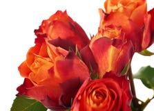 Свежие розы над предпосылкой изолированной белизной Стоковая Фотография