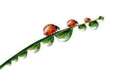 Свежие роса и ladybird утра Стоковые Фотографии RF