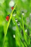 Свежие роса и ladybirds утра Стоковые Фотографии RF