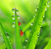 Свежие роса и ladybirds утра Стоковое фото RF