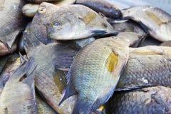 Свежие рыбы тилапии в рынке Стоковые Изображения
