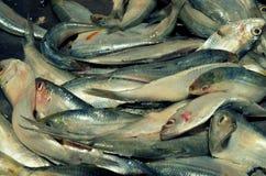 Свежие рыбы Стоковые Изображения RF