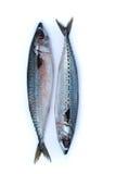 Свежие рыбы saba Стоковые Фото