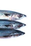Свежие рыбы saba Стоковая Фотография RF