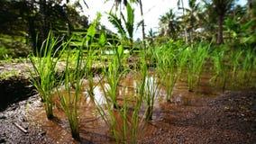 Свежие семена ростков на рисовой посадке растя на сочном зеленом поле рисовых полей видеоматериал