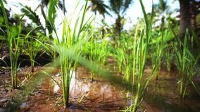 Свежие семена ростков на рисовой посадке растя на сочном зеленом поле рисовых полей акции видеоматериалы