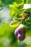 Свежие сочные груши на ветви грушевого дерев дерева Органические груши в окружающей среде Урожай груш в саде лета Стоковые Фотографии RF