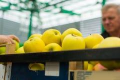 Свежие сочные желтые яблоки Стоковая Фотография RF