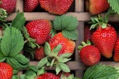 Свежие сочные клубники с листьями Предпосылка клубники еда принципиальной схемы здоровая Свежие органические ягоды Стоковая Фотография RF