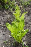 Свежие спиральные ростки папоротника Стоковые Изображения RF