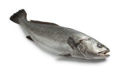Свежие сырцовые рыбы corvina стоковое изображение