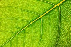 Свежие текстура лист или предпосылка лист для дизайна с космосом экземпляра для текста или изображения абстрактная зеленая тексту Стоковое фото RF