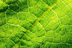 Свежие текстура лист или предпосылка лист для дизайна с космосом экземпляра для текста или изображения абстрактная зеленая тексту Стоковые Фотографии RF