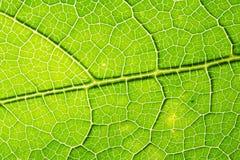 Свежие текстура лист или предпосылка лист для дизайна с космосом экземпляра для текста или изображения абстрактная зеленая тексту Стоковые Фото