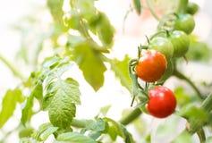 свежие томаты коктеиля получая красный цвет Стоковое Изображение RF