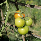 Свежие томаты на заводе дерева Стоковое фото RF