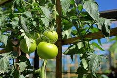 Свежие томаты на заводе дерева Стоковое Фото