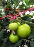 Свежие томаты растя на лозе Стоковое фото RF