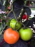 Свежие томаты растя на лозе Стоковые Изображения