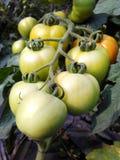 Свежие томаты роста в поле стоковые изображения rf