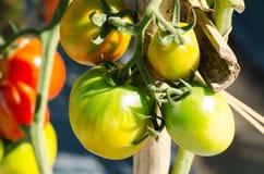 свежие томаты Стоковое Фото
