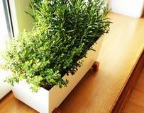 Свежие травы растя в баке на windowsill стоковые изображения