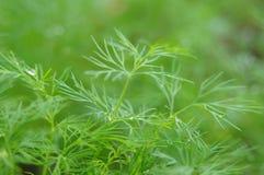 свежие травы сада стоковая фотография rf