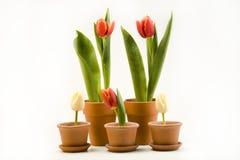 свежие тюльпаны стоковое изображение rf