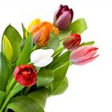свежие тюльпаны Стоковые Фотографии RF