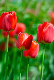 Свежие тюльпаны весны цветут с падениями воды в саде Стоковые Изображения RF